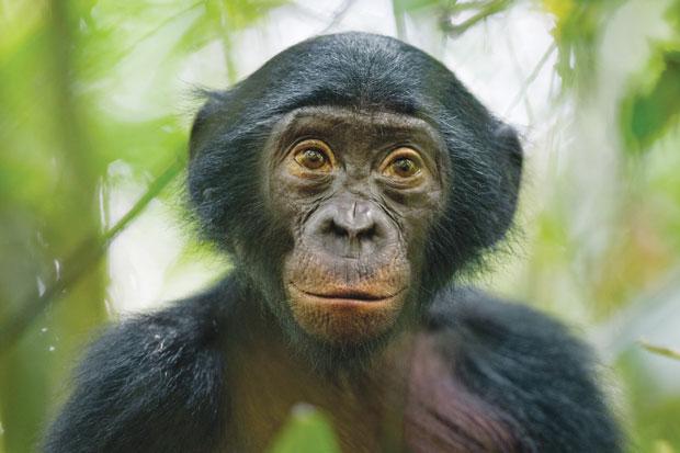 Natureza. Macaco bonobo com jeito de humano cativa fotógrafo. A imagem de Christian Ziegler mostra um curioso bonobo selvagem de cinco anos de idade próximo à reserva Kokolopori, na República Democrática do Congo | Christian Ziegler/National Geographic