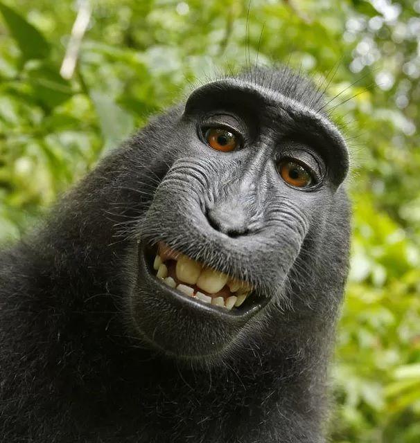 Macaco fez selfie sorridente | Wikimedia Commons