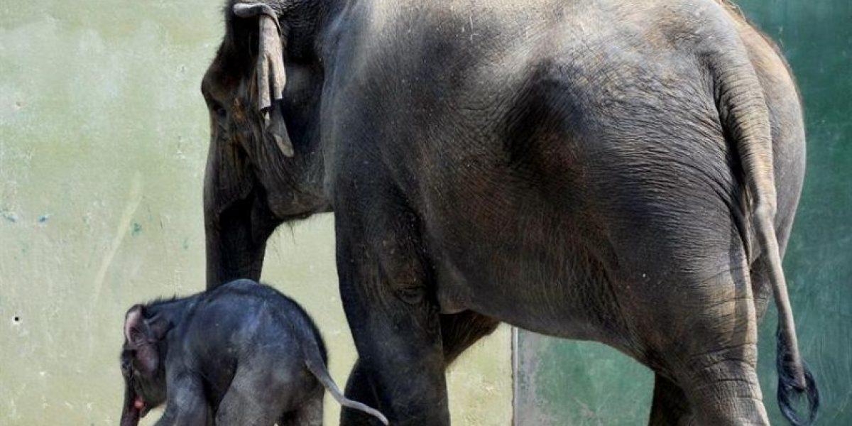 Muestran cría de elefante en zoológico de Munich