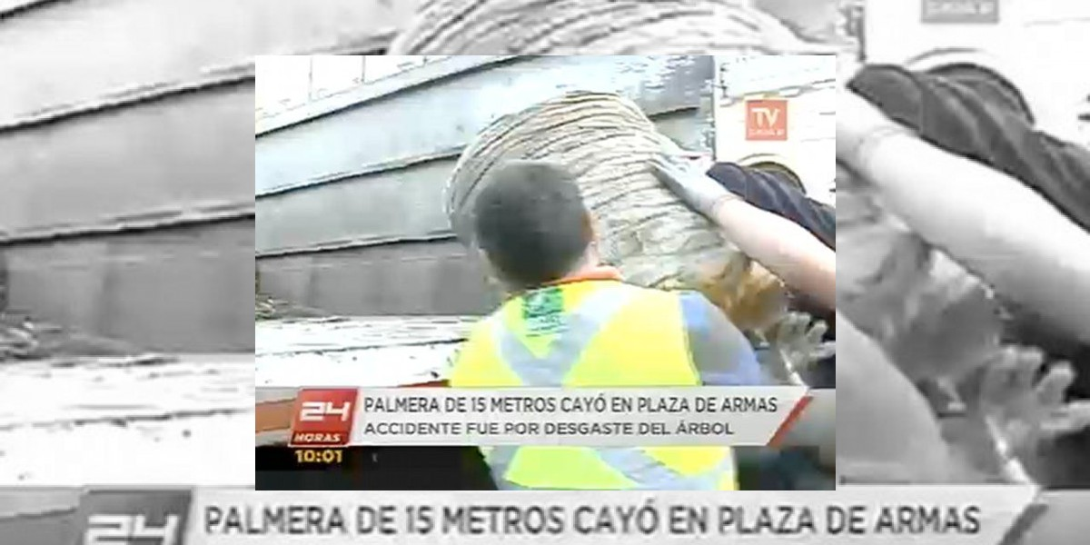 Palmera de 15 metros cae en plena Plaza de Armas