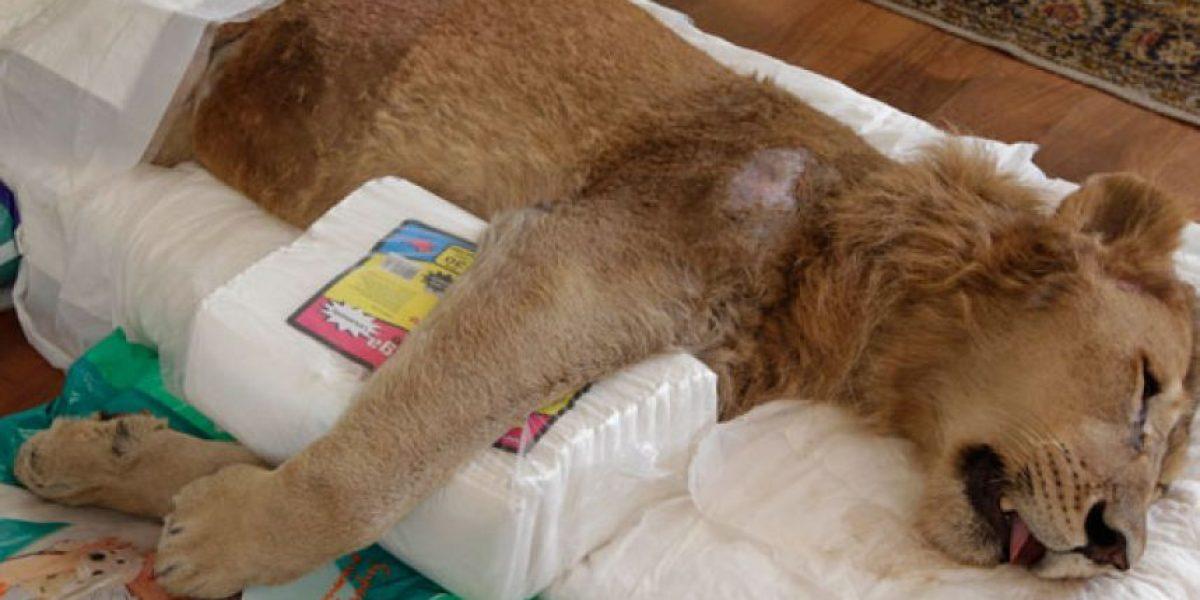 [FOTOS] Piden ayuda en internet para un león con extraña parálisis