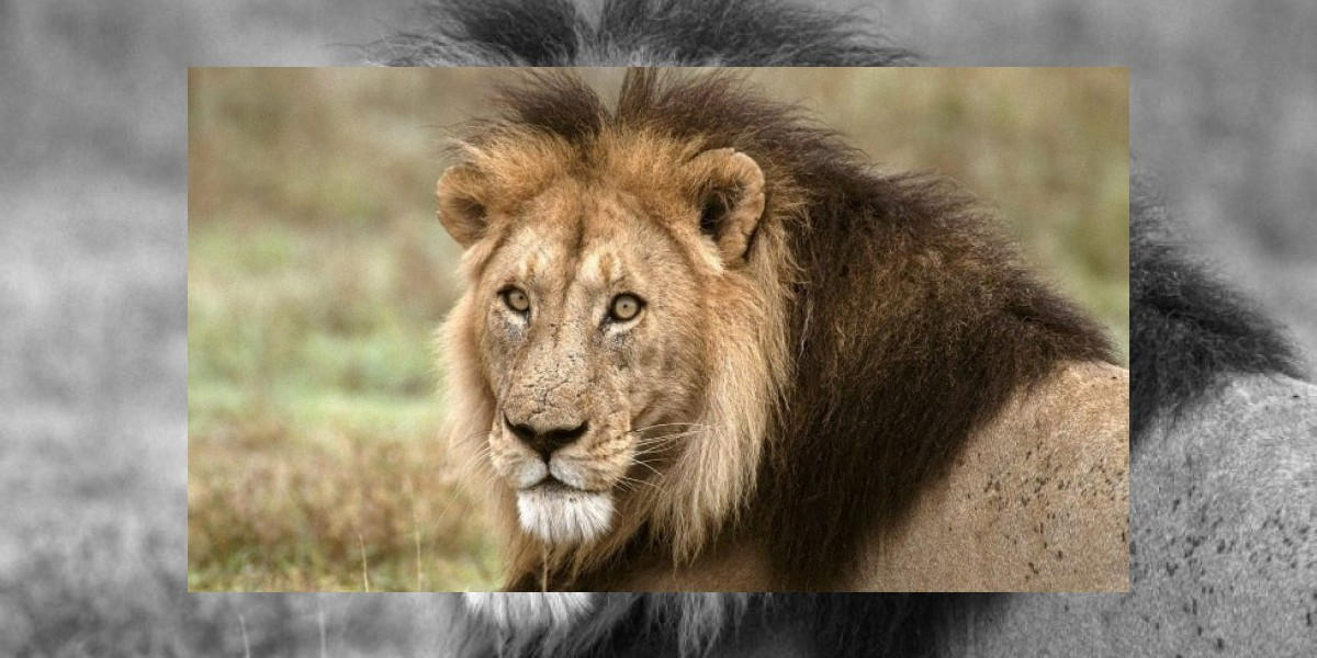 Hombre vivirá dentro de una jaula con leones por cinco semana