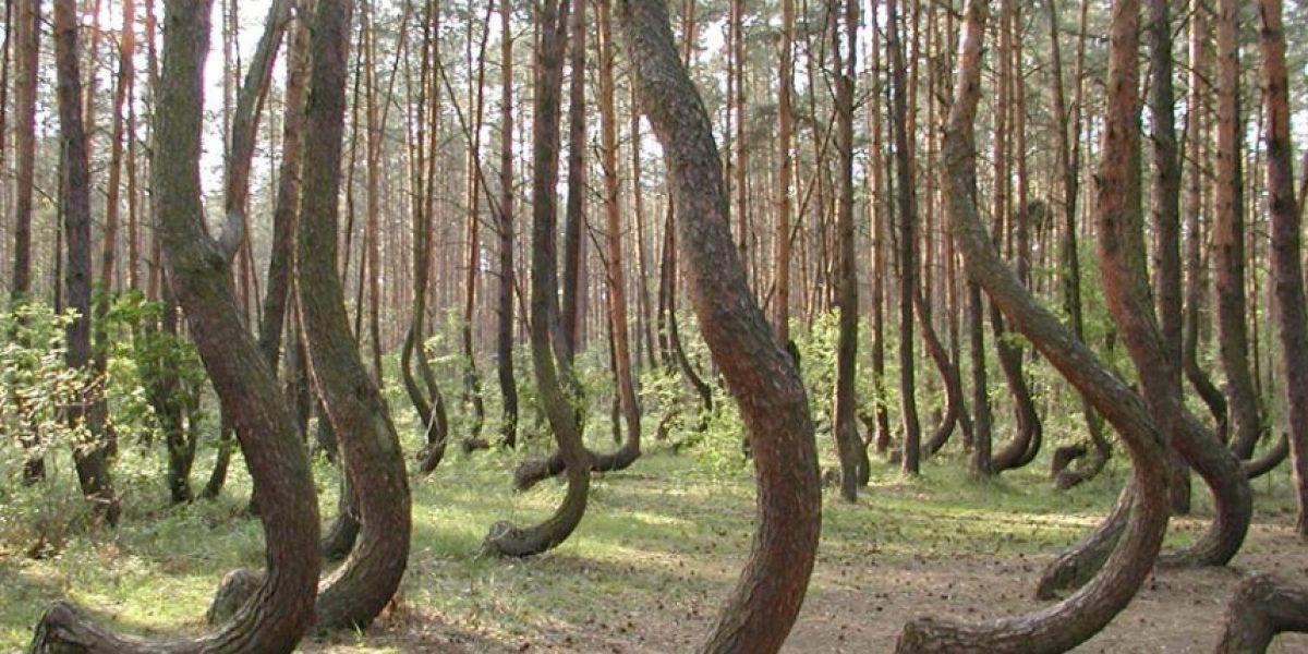 El misterio del bosque polaco donde los árboles crecen doblados