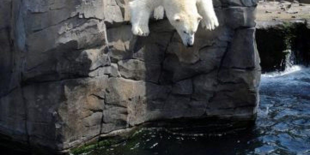 [FOTOS] Así se refresca un oso polar