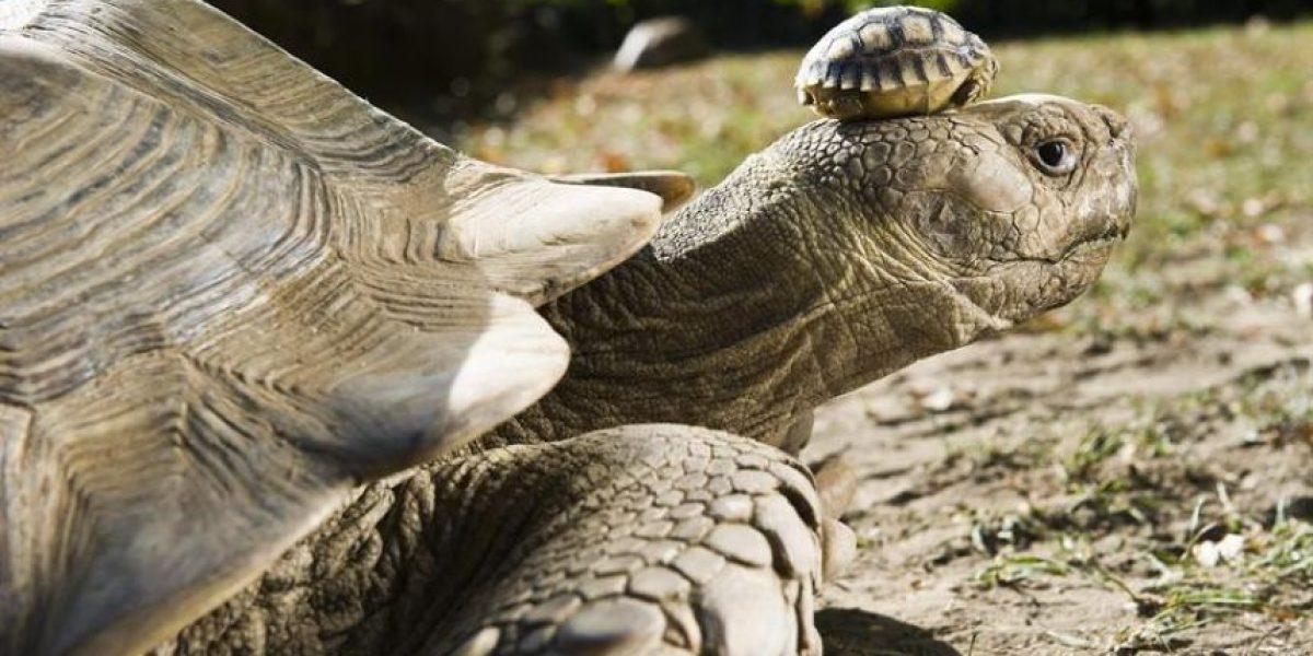 [FOTOS] De este tamaño son las tortugas africanas de cuatro días de vida