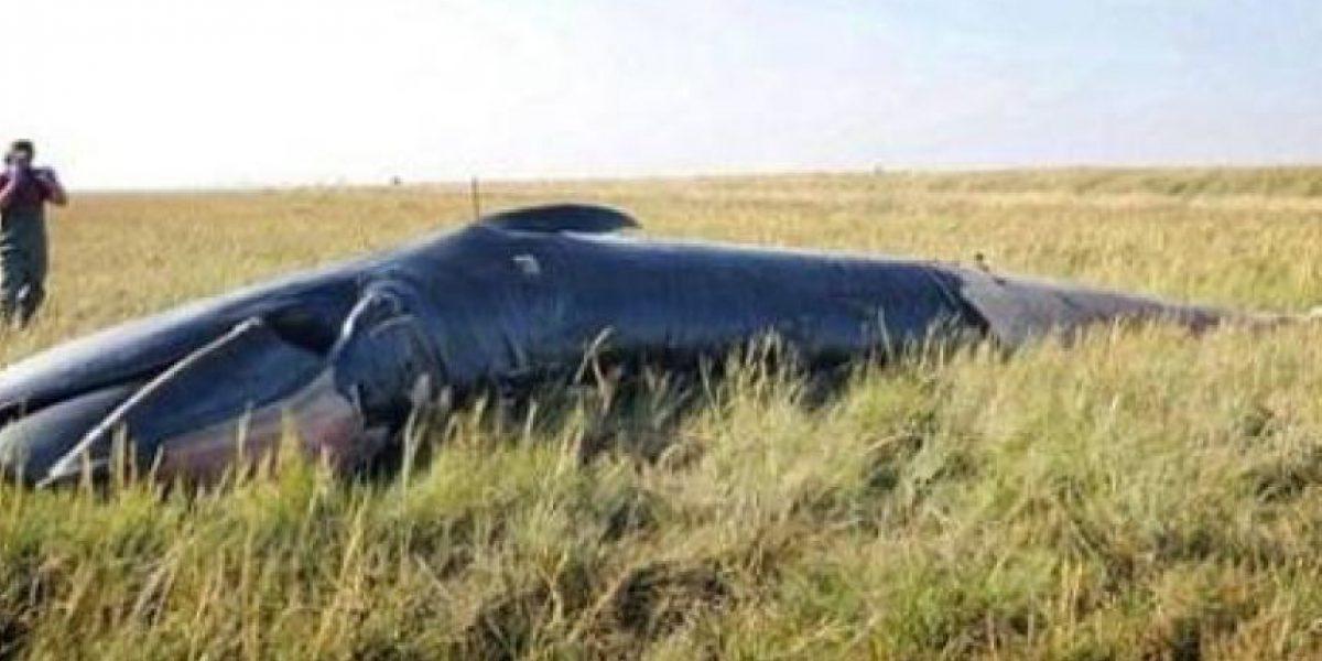 Una enorme ballena apareció muerta a casi un kilómetro del mar en Inglaterra
