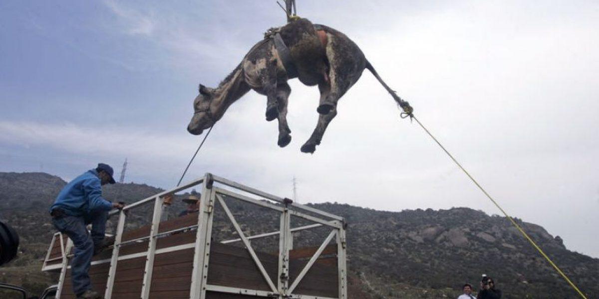 [FOTOS] Tras varias horas y en medio de aplausos fue rescatado el toro Frutilla