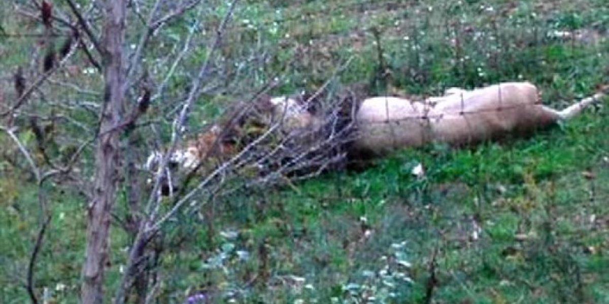 Pánico en Ohio: Hombre se mata tras soltar a osos, tigres, lobos y monos