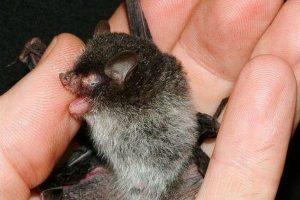 El murciélago Belcebú. Imagen Por: