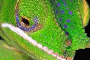 El camaleón glam. Imagen Por: