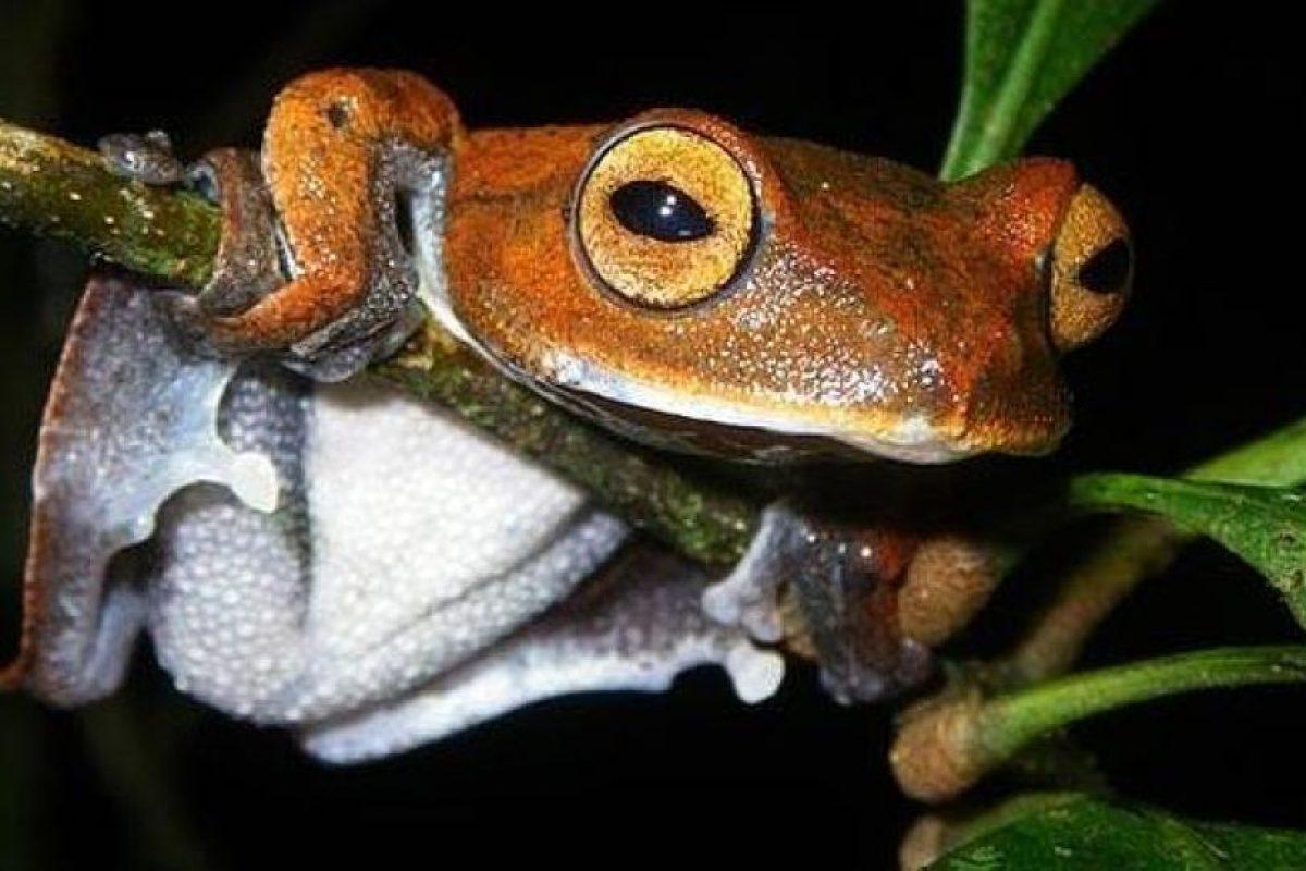 La rana vampiro. Imagen Por: