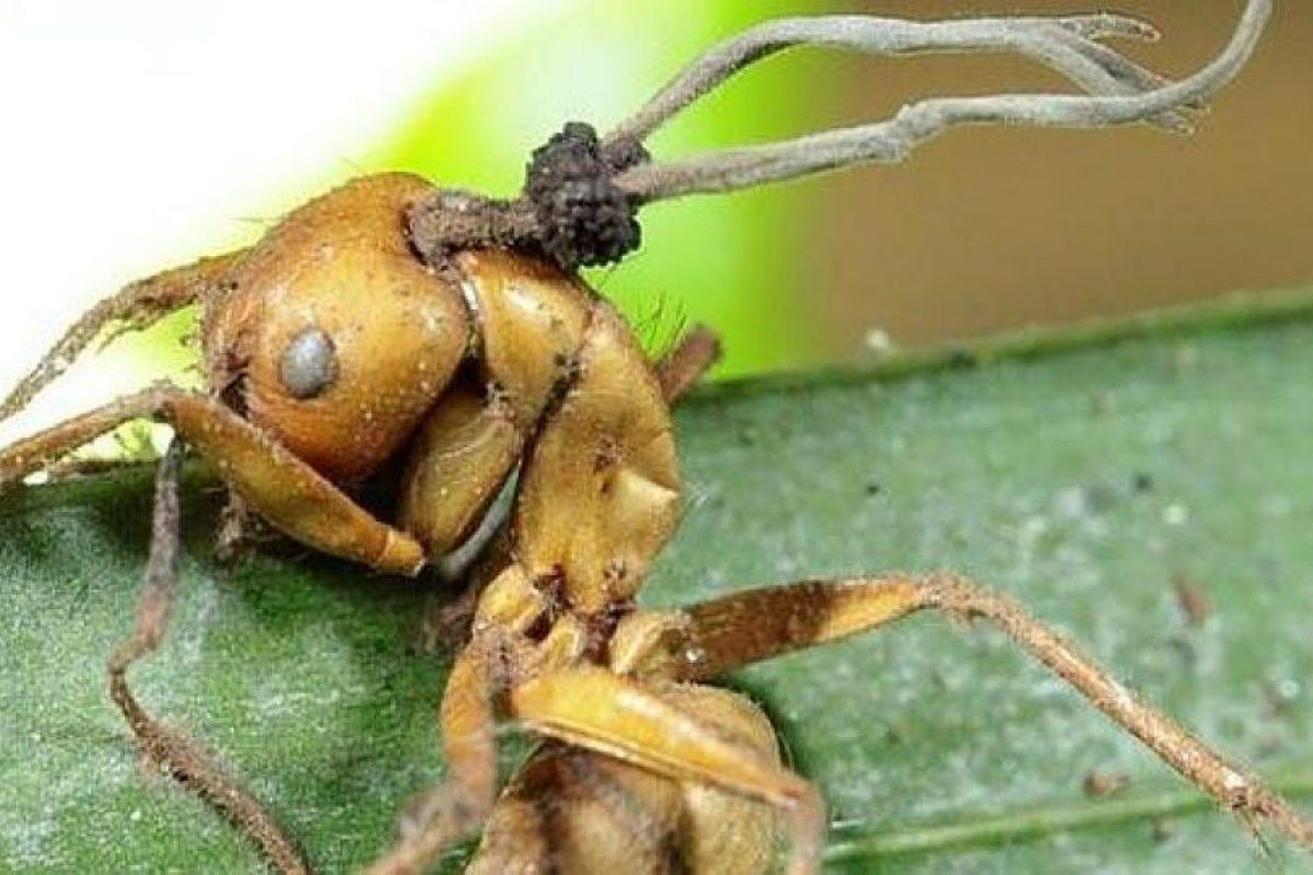 Una hormiga zombie. Imagen Por: