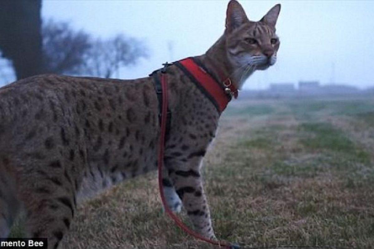 Fotos Este Es El Gato Más Alto Del Mundo Publimetro Chile