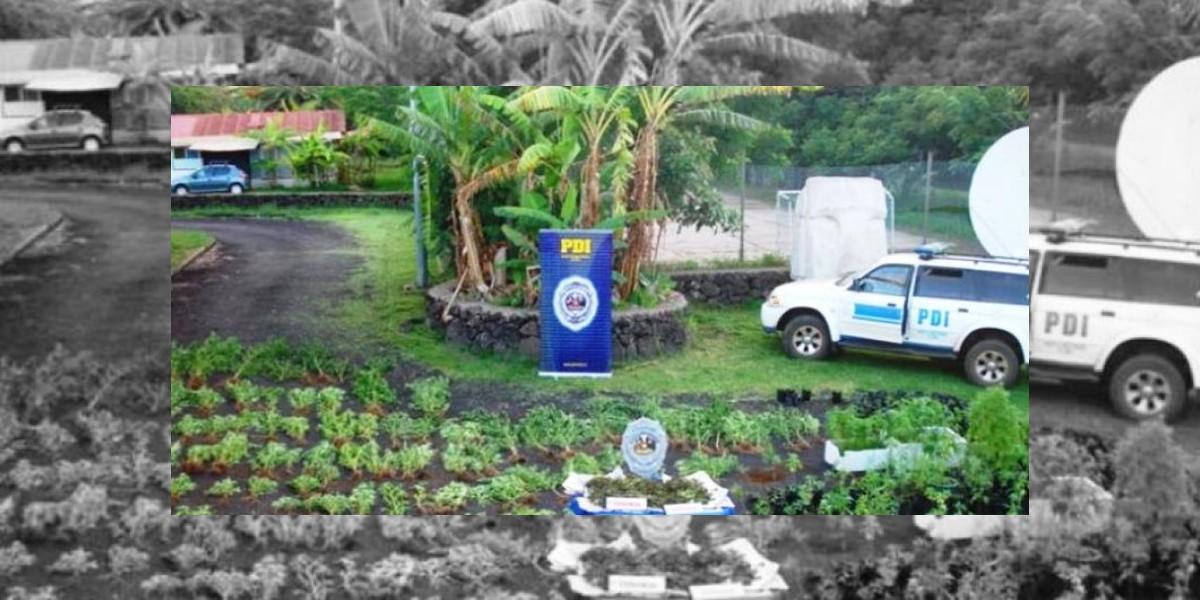 Isla de Pascua: Detectan 512 plantas de marihuana a días de la fiesta