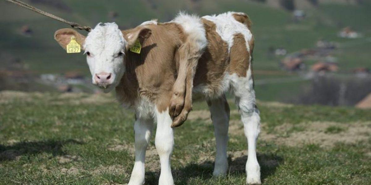 [FOTOS] Ternera en Suiza nace con dos patas de más