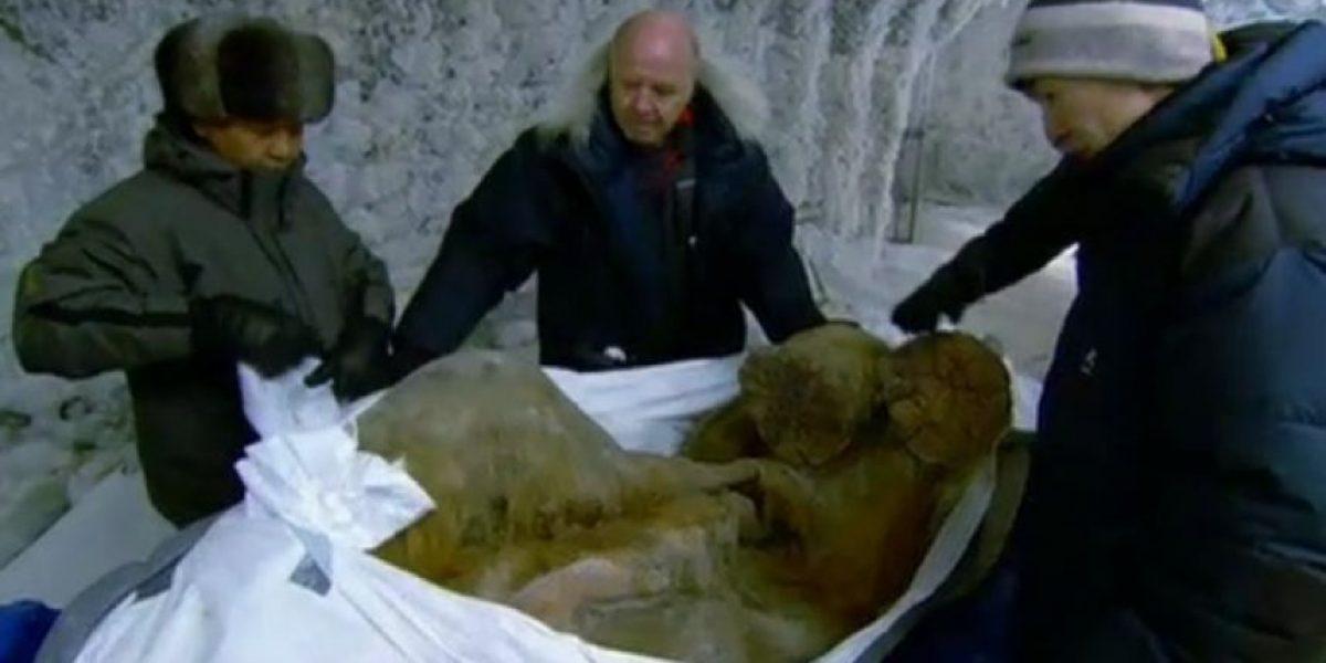 El mamut mejor conservado en la historia estuvo 10 mil años bajo hielo