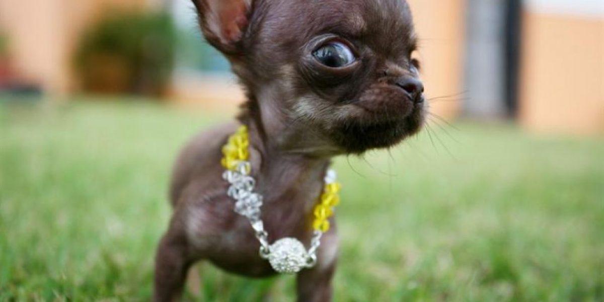[FOTOS] Este Chihuahua quiere ser el más pequeño del mundo