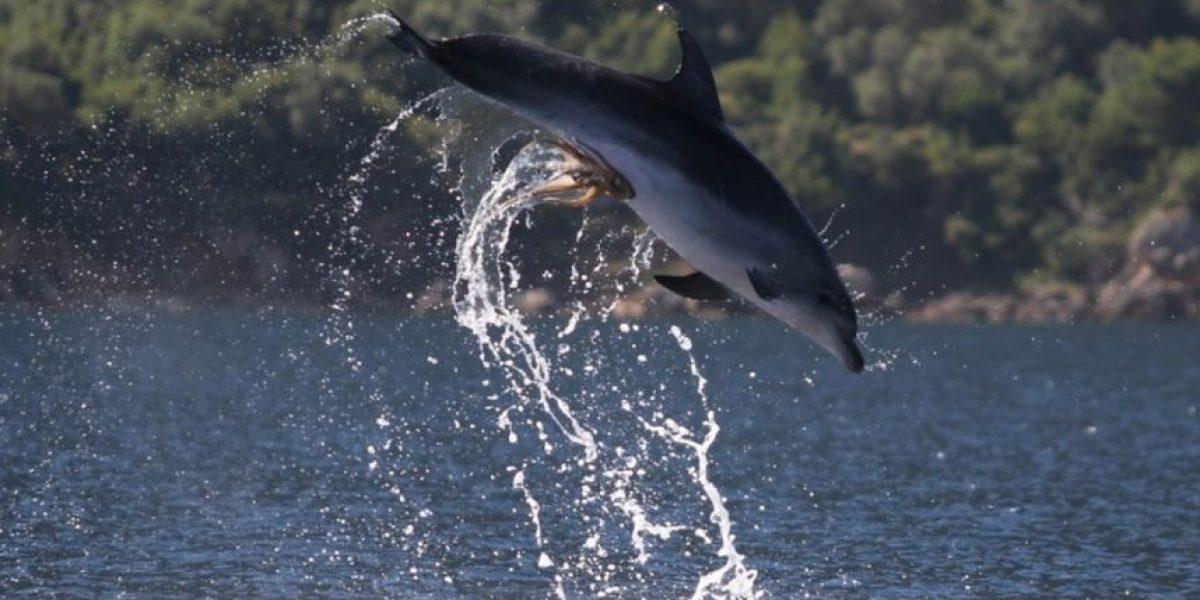 [FOTOS] Fotografían a un pulpo pegado a un delfín