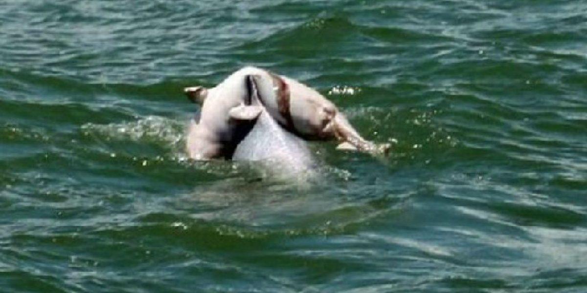 Emotivas fotos muestran a un delfín sacar a su cría muerta del mar