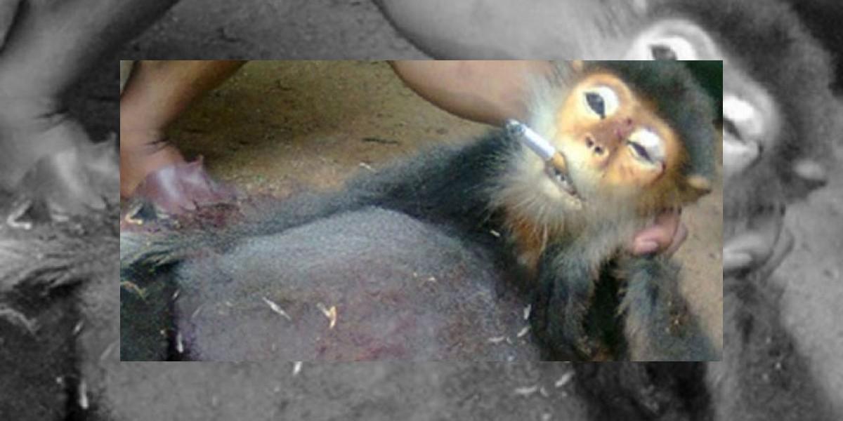 Soldados obligaron a monos en peligro de extinción a fumar cigarrillos