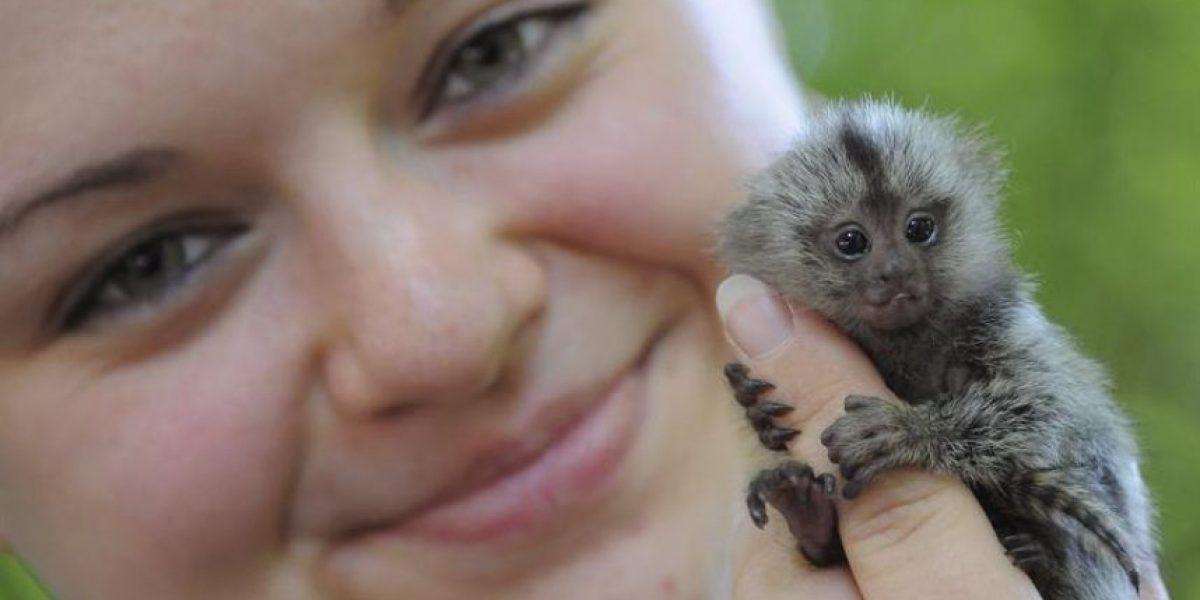 Este diminuto monito es sensación en el Zoo de Alemania