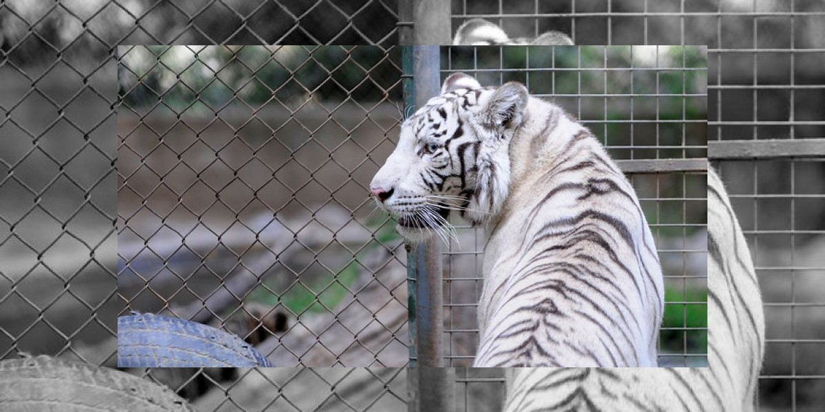 Zoológico Metropolitano: Tigre blanco escapa de su jaula y ataca a cuidador