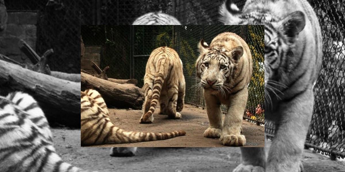 """Director del Zoológico Metropolitano y muerte de trigre: """"Era la vida de Pampa o la de José"""""""