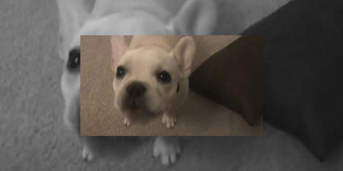 [VIDEO] Este pequeño Bulldog francés emite tiernos y entretenidos sonidos