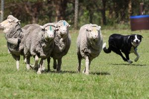 Para finalizar una inédita tecnología desarrollada en Suecia y la cual permitirá a las ovejas avisar a pastor por sms el ataque de lobos. Se trata de un sensor que se conecta a un collar atado al cuello del animal. Este dispositivo identificará el nivel de pulsaciones por minutos: si estas son entre 60 y 80, y se mantienen por un período de dos a tres minutos, se enviará un mensaje de texto al celular del cuidador, advirtiendo de la presencia de un depredador.. Imagen Por: