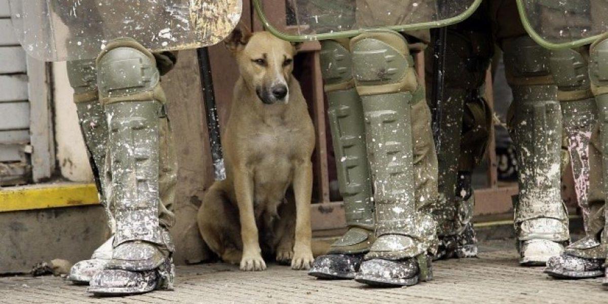 La otra mirada: Así vivieron los perros callejeros los incidentes en Santiago