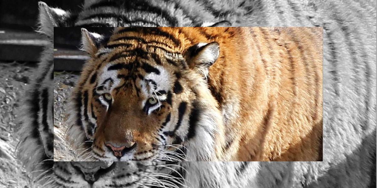 Tigre mata a su cuidadora y se escapa en Zoológico de Alemania
