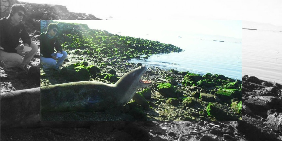 Rescatan a foca leopardo que estaba varada en Talcahuano