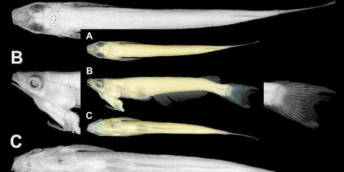 Descubren un pez que tiene los órganos sexuales en la cabeza