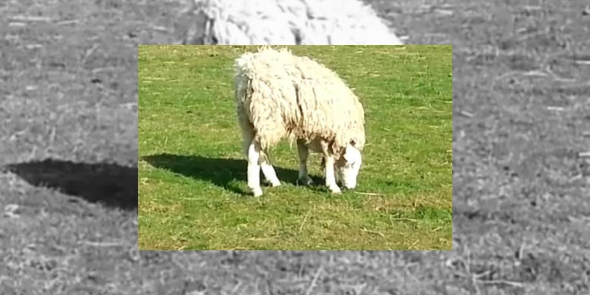 [VIDEO] Increíble caso en UK de una oveja con la cabeza al revés