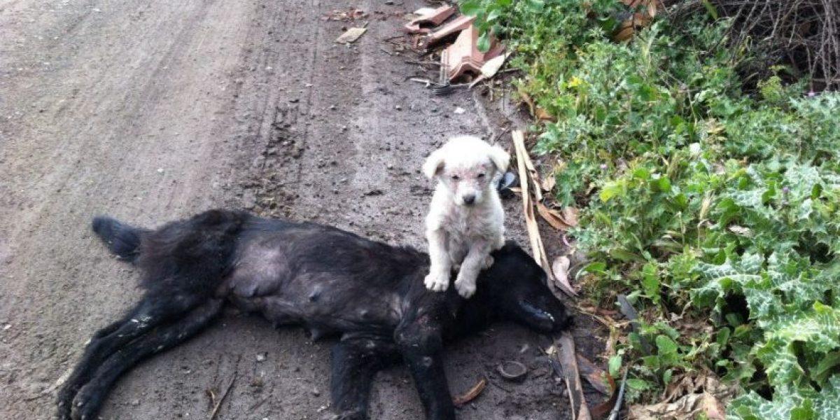 Cachorro encontrado con el cuerpo de su madre atropellada busca hogar