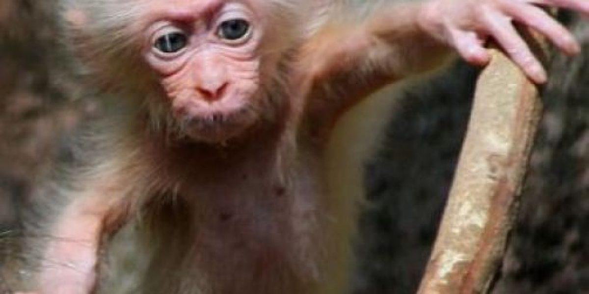 El macaco igualito a Albert Einstein que asombra al mundo