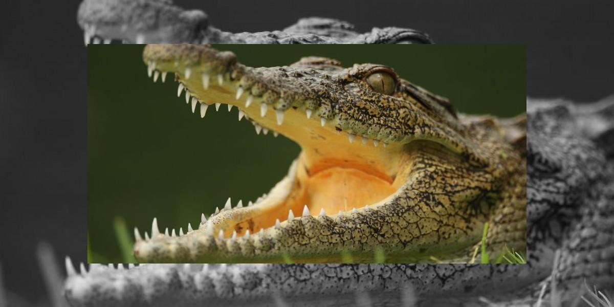 Para no creer: Mandíbulas de cocodrilos son más sensibles que dedos humanos