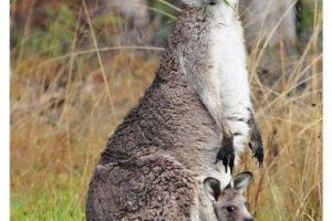 El canguro de Australia: ¿Quiere ver un grupo de canguros en su hábitat? El mejor lugar para encontrar al canguro es en la isla meridional de Australia, en un vuelo corto a la ciudad de Adelaida. Un tercio de esta isla es conservada como parque nacional y la sensación es muy similar a la de un zoológico sin jaulas, con muchos animales nativos del país como el koala, el wallabie o el puercoespín.. Imagen Por: