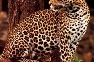 El leopardo de Sudáfrica: Para obtener los mejores avistamientos de leopardos que descansan en los árboles, el mejor lugar es Sabi Arena. La reserva sudafricana más antigua y hogar de una gran riqueza de fascinantes animales africanos como leones, guepardos, jirafas y por supuesto, los leopardos. Los expertos lo llevarán en una 4×4 para captar leopardos con su cámara, cerca de un alojamiento encantador y exótico.. Imagen Por: