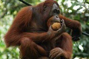 El orangután de Borneo: Si le gustan las pelirrojas entonces probablemente va a amar a los orangutanes. Usted puede encontrarlos en la naturaleza y en los centros de rehabilitación de la isla de Borneo, en Malasia. El mejor lugar para localizarlos es en la reserva Danum Valley por barco a lo largo del río Kinabatangan, un santuario de vida silvestre donde también se pueden ver cocodrilos, monos y elefantes.. Imagen Por: