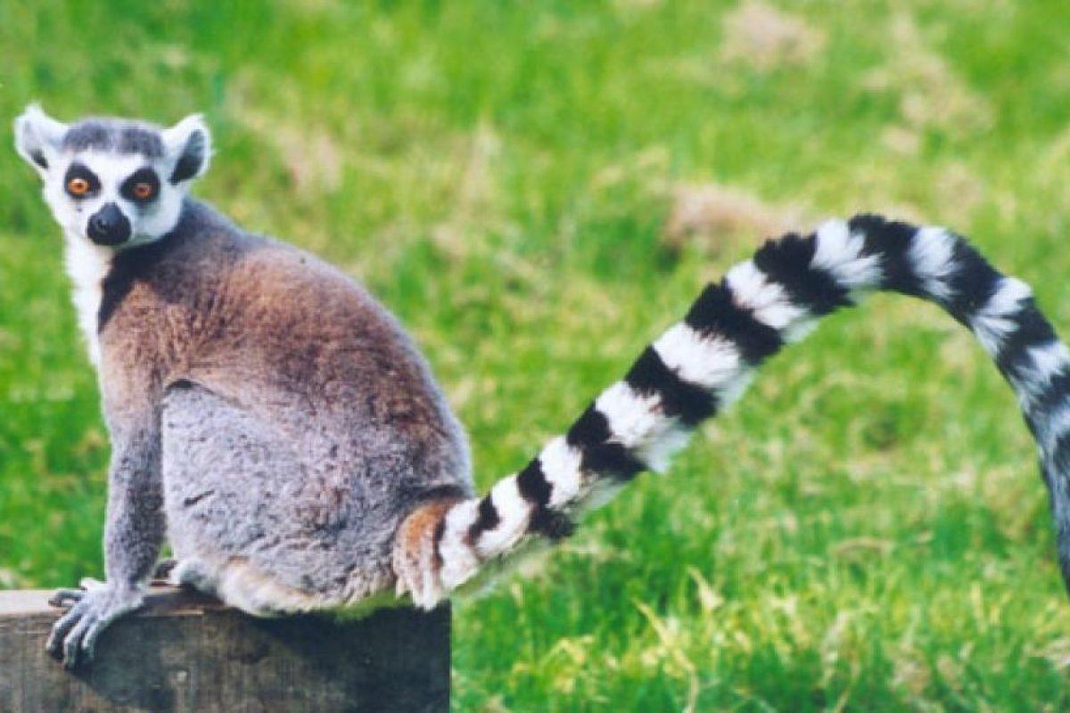 El lemur de Madagascar: La cuarta isla mas larga del mundo, Madagascar, tiene una única y exótica fauna que ha evolucionado desde que se volvió isla hace más de 160 millones de años, y una de sus especies más emblemáticas es el lemur. Hay más de 30 tipos de este primate que viven allí, donde las expediciones para encontrar lémures son comunes.. Imagen Por: