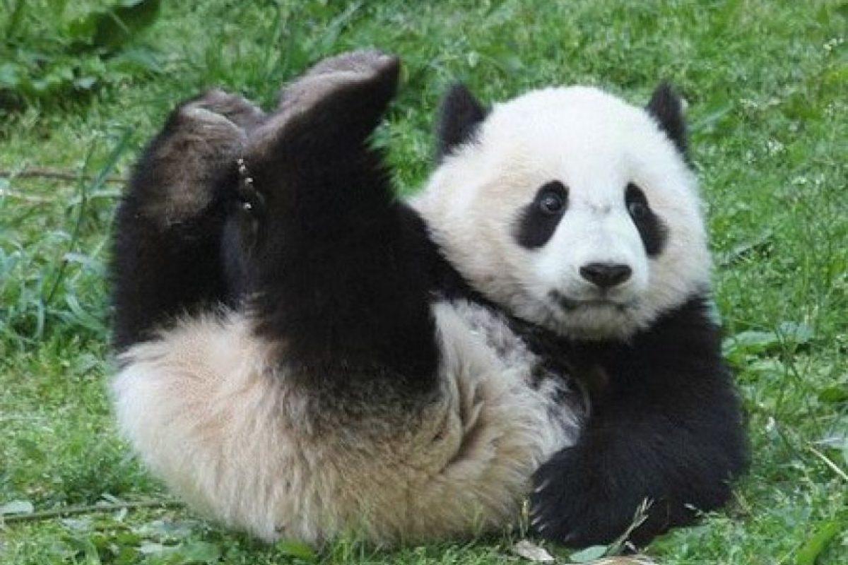 El panda de China: Los puede ver comer bambú en la reserva natural de Wolong a 100 km de la ciudad de Chengdu, donde viven en recintos grandes y recién construidos. Allí usted puede sostener algunas crías de panda y pasar un par de días como voluntario para cuidar de ellos en la base Panda Bifengxia.. Imagen Por:
