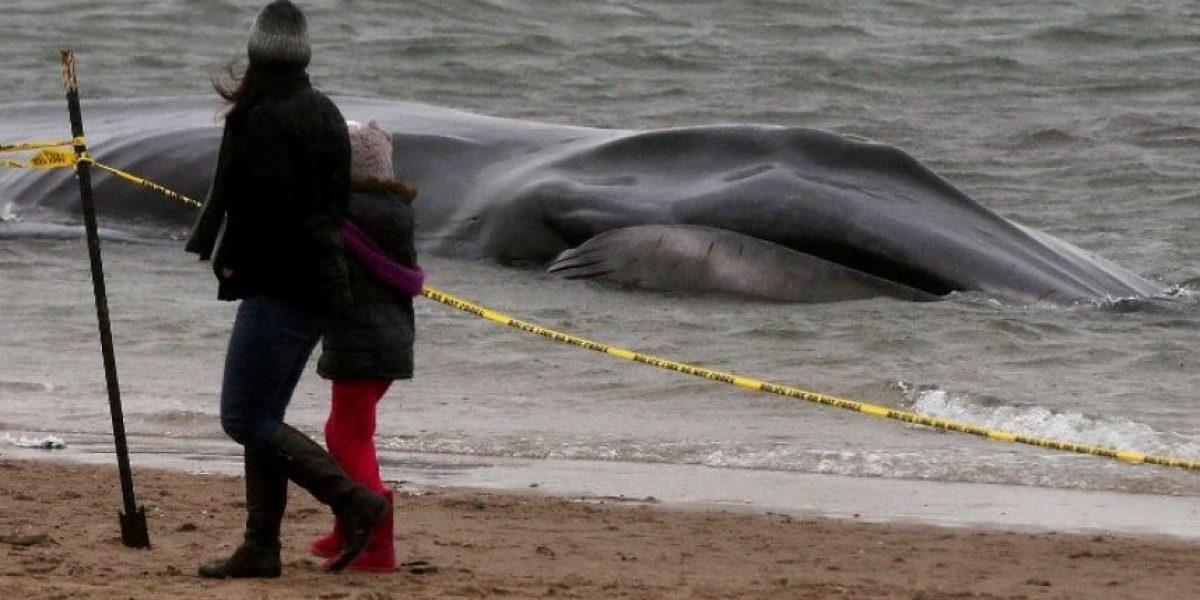 Ballena de 9 metros aparece varada en playa de Nueva York