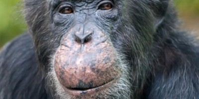 La chimpancé adicta a la pornografía