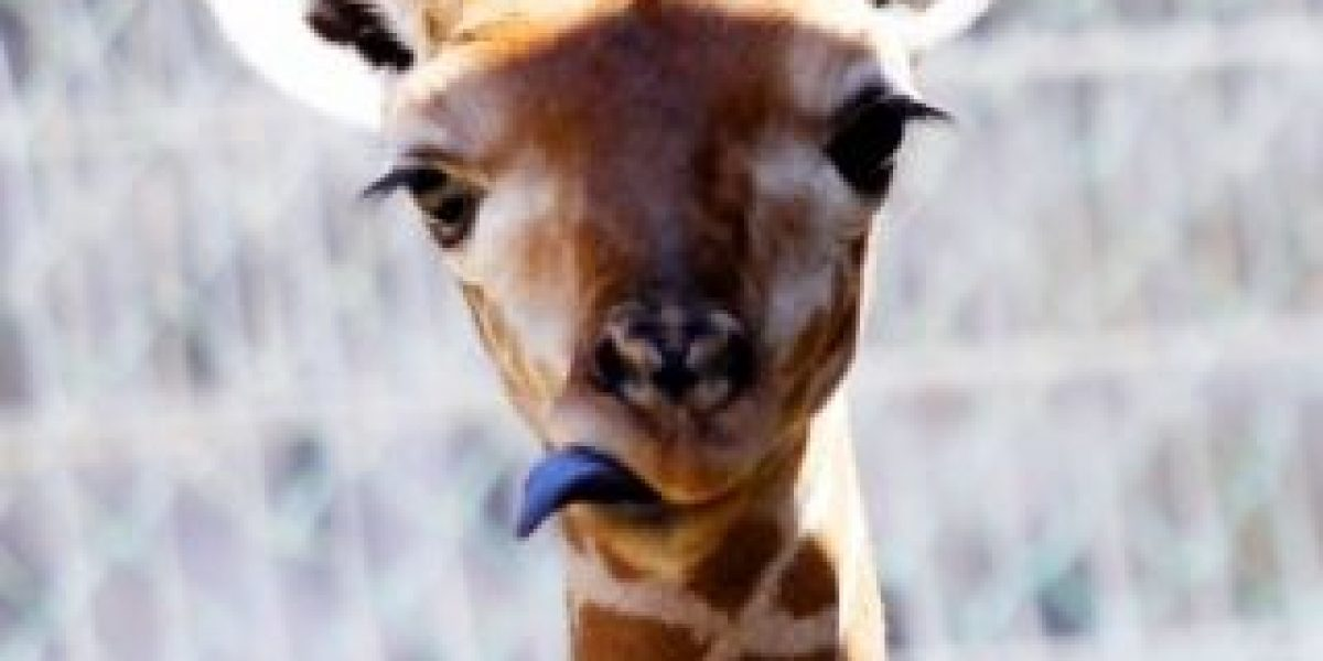 Fotos: Él es el nuevo integrante del Zoo de Santiago