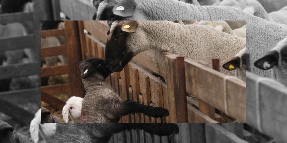 Un cordero con ocho patas y tres ojos nació en Kazajistán