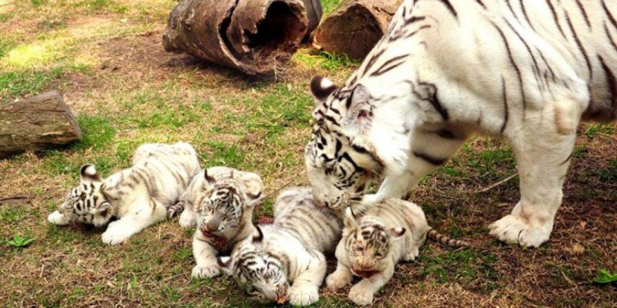 [FOTOS] Nacen cuatrillizos de tigre de Bengala blanco en Argentina