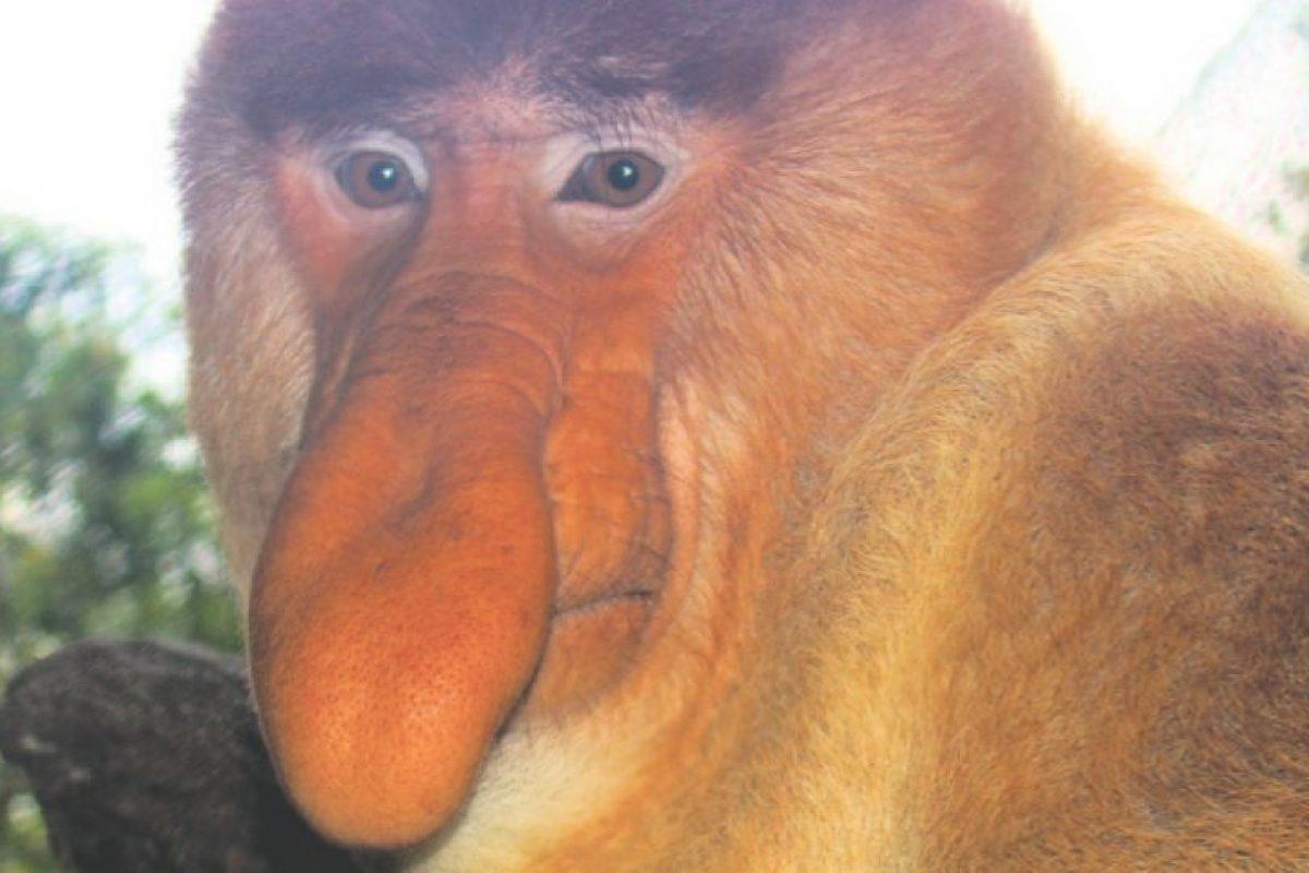 Al igual que algo que cuelga en el ser humano, esta nariz está allí para atraer a las parejas. El mono narigudo (Nasalis larvatus) de la isla de Borneo utiliza este órgano colgante para crear una caja de resonancia que amplifica su llamado similar a un pito.. Imagen Por: