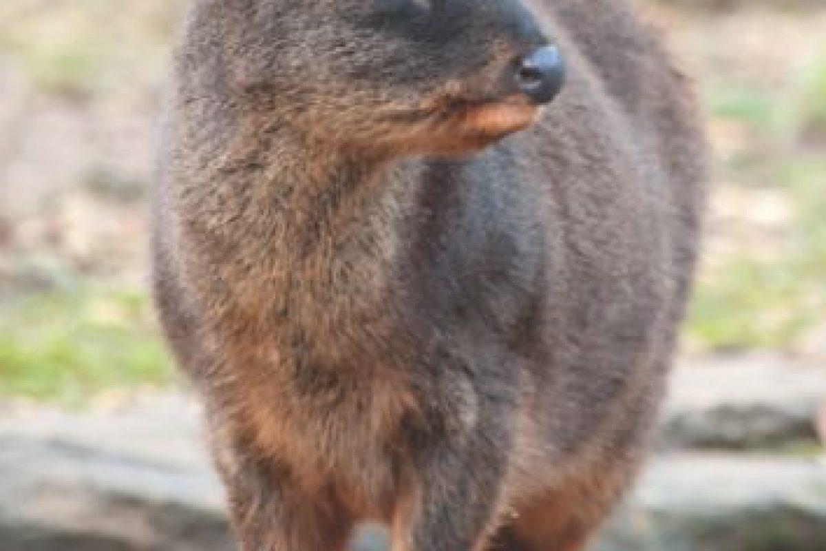 Si Bambi no lo hizo llorar, esta delicada hembra sí lo hará. El ciervo más pequeño del mundo, nativo de las montañas chilenas y argentinas, apenas alcanza medio metro de altura, incluso su nombre corto suena dulce. Pero la caza excesiva y la pérdida de hábitat lo está empujando a la extinción.. Imagen Por: