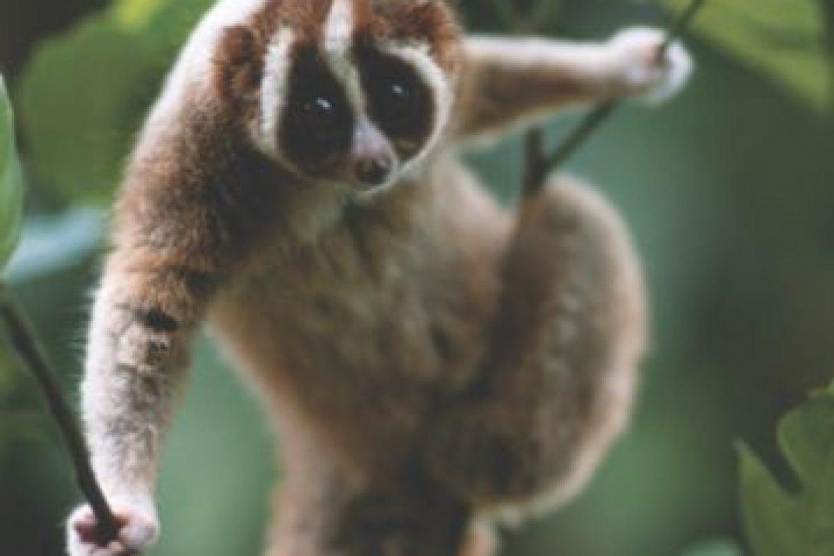 """se ha convertido en un sensación de YouTube, con clips del primate mientras le hacen cosquillas y sosteniendo una sombrillita ha logrado millones de """"¡Awww!"""". Pero como cada rosa tiene su espina, el loris tiene su lado oscuro, es venenoso.. Imagen Por:"""